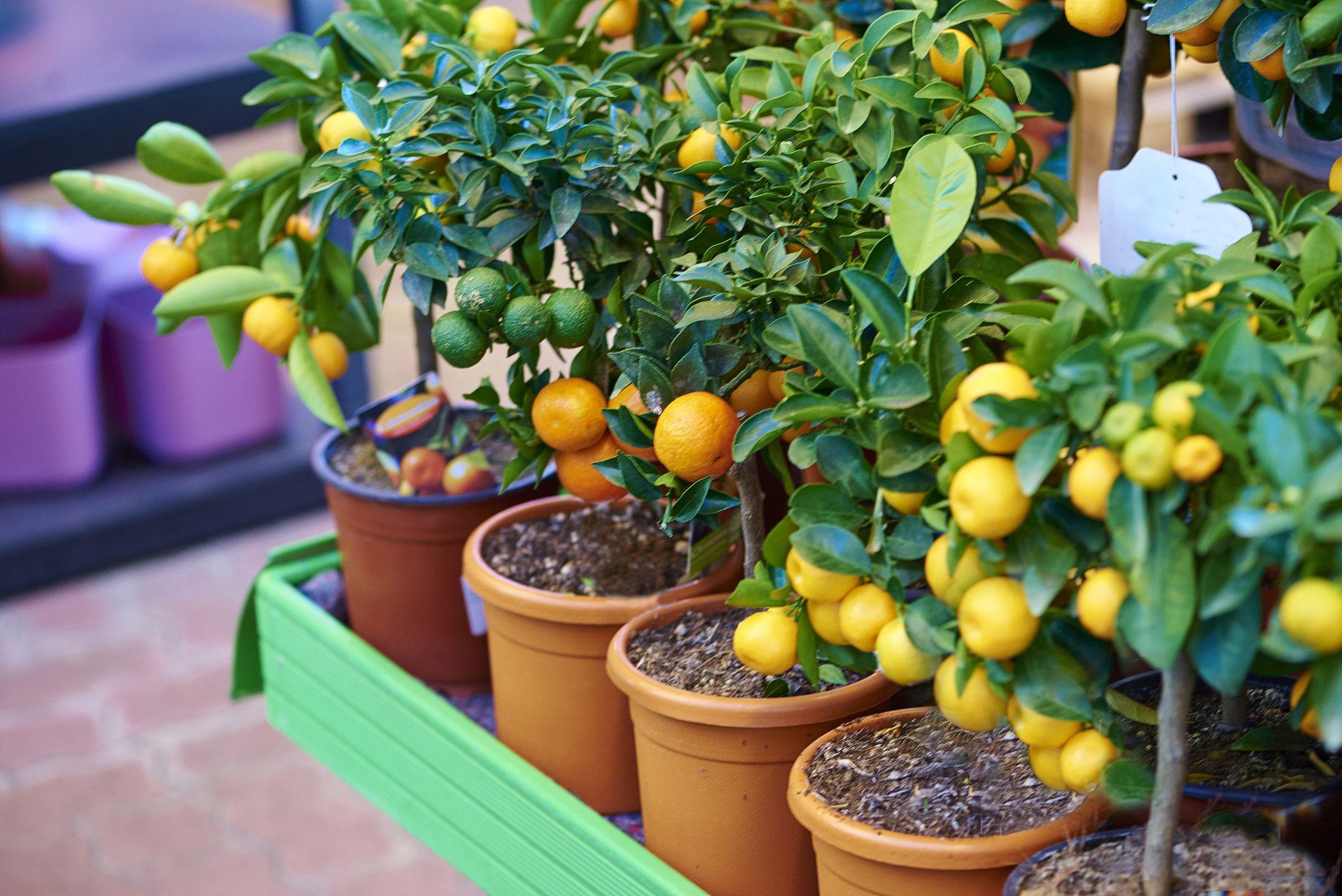 What Is A Dwarf Fruit Tree?