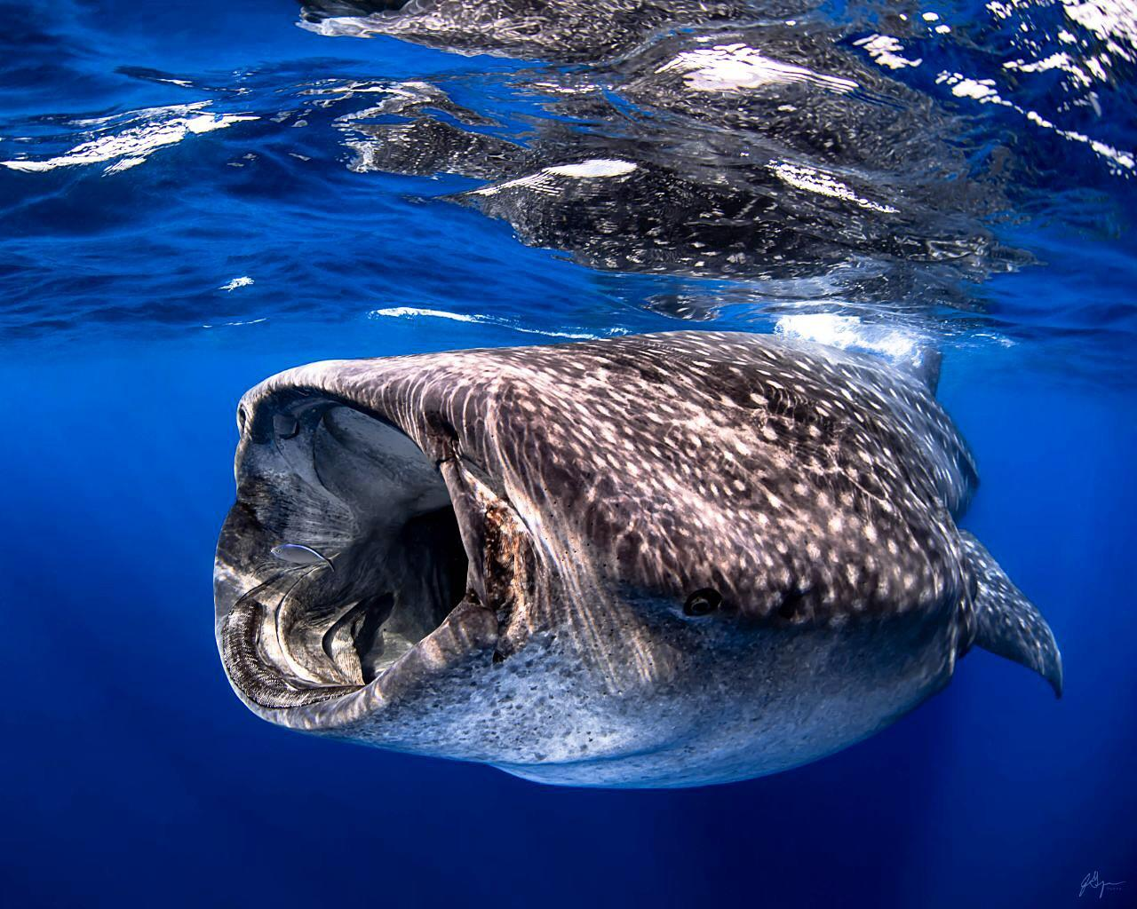 The Tour Of Swimming With Whale Sharks La Paz